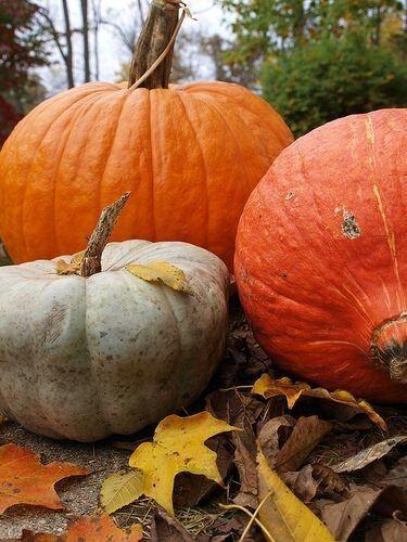 Królowa jesieni – jej wysokość dynia część I